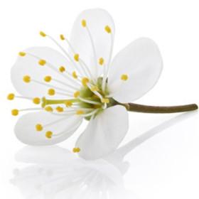 Kwiat wiśni - esencja zapachowa